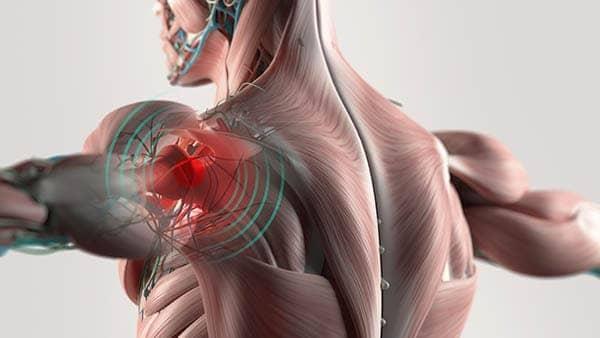 anatomie epaule paris docteur thomas waitzenegger chirurgie epaule chirurgie main chirurgie coude paris 16 longjumeau