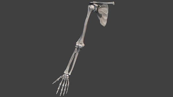 anatomie epaule docteur thomas waitzenegger chirurgien orthopedique paris 16