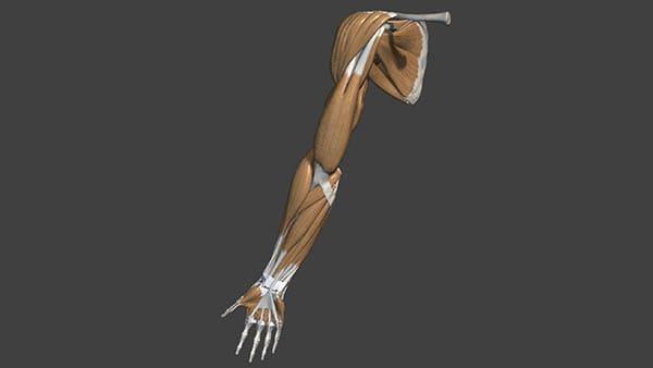 anatomie epaule os et muscles docteur thomas waitzenegger chirurgien orthopedique paris 16