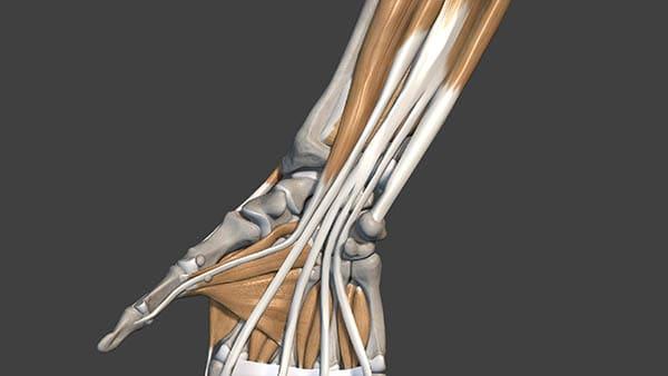anatomie main docteur thomas waitzenegger chirurgien orthopedique paris 16